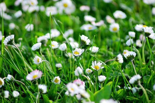 Fehér százszorszép makró tavasz levél kert Stock fotó © hamik