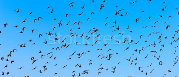 Flying birds Stock photo © hamik