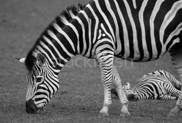 Zebra Stock photo © hamik
