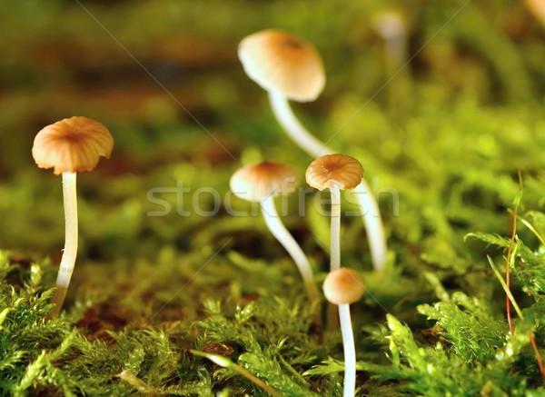 Piccolo funghi macro shot miniatura funghi Foto d'archivio © hamik