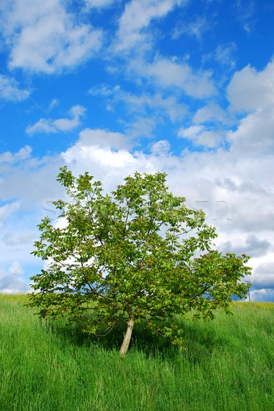 Albero cielo blu sola estate verde prato Foto d'archivio © hamik