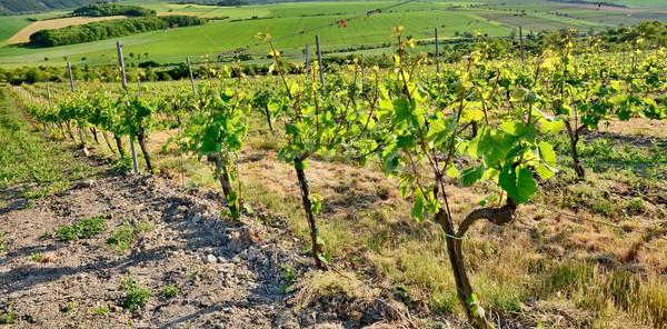 畑 表示 チェコ語 セントラル 山 ワイン ストックフォト © hamik