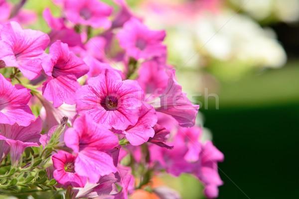 Petunia Stock photo © hamik
