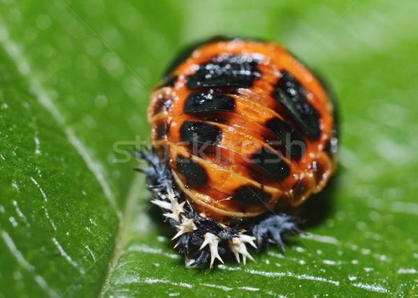 Ladybug pupa Stock photo © hamik