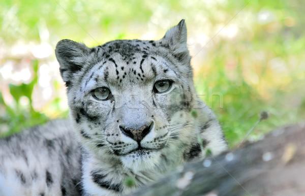 Snow leopard (Irbis) Stock photo © hamik