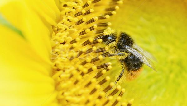 Stockfoto: Honingbij · bloem · zonnebloem · verzamelen · stuifmeel · zon