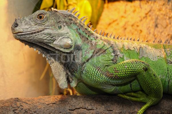 Green iguana Stock photo © hamik