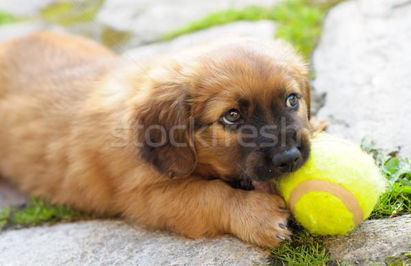 Piccolo cucciolo rosolare vecchio pochi giocare Foto d'archivio © hamik