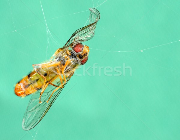 Dode wesp spinnenweb web insect close-up Stockfoto © hamik