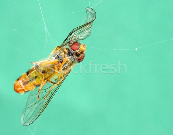 Morto vespa teia da aranha teia inseto close-up Foto stock © hamik