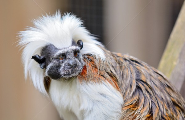Cotton-top Tamarin monkey Stock photo © hamik