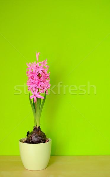 Pink Hyacinth Stock photo © hamik