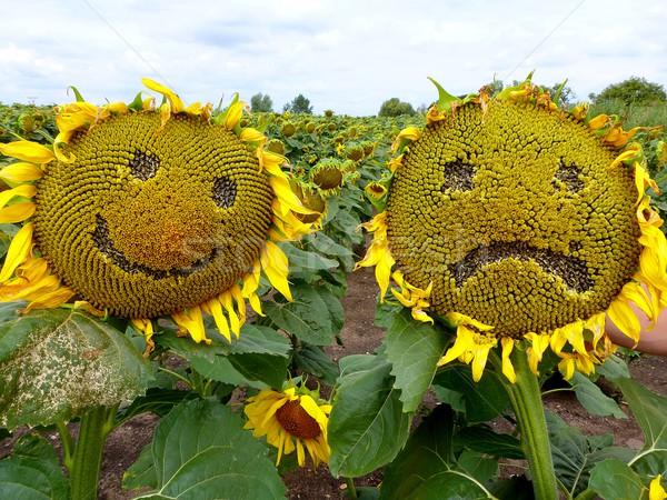ひまわり 面白い ショット 悲しい 幸せ 花 ストックフォト © hamik