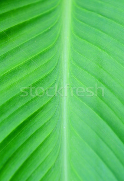 Canna leaf  Stock photo © hamik
