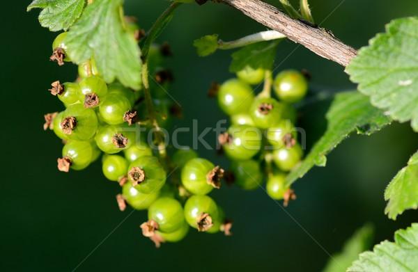 Yeşil frenk üzümü meyve asılı dal doğa Stok fotoğraf © hamik