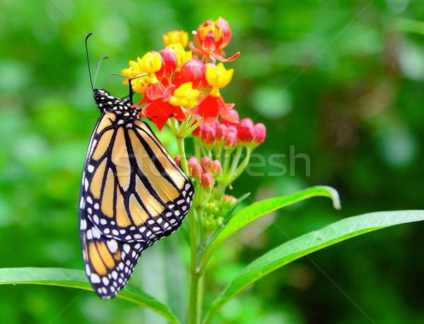 Monarch butterfly Stock photo © hamik
