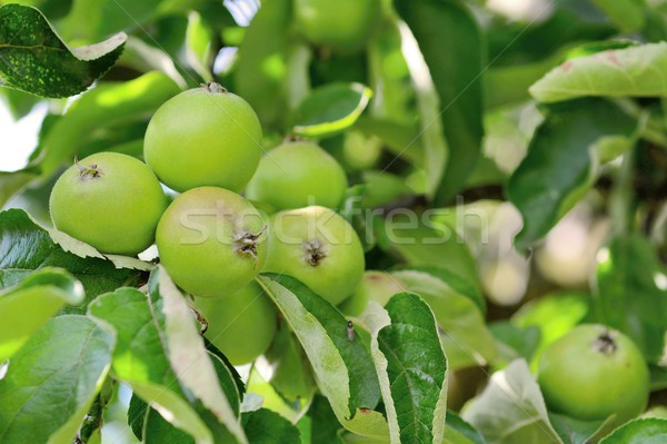 Verde mere copac măr ramură mic Imagine de stoc © hamik