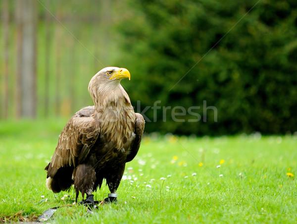 Altın kartal hayvanat bahçesi doğa kuş portre Stok fotoğraf © hamik