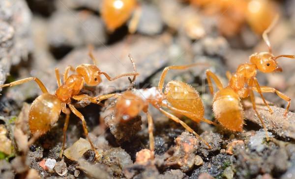 Amarelo formigas extremo macro tiro trabalhar Foto stock © hamik