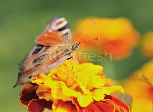 Vlinder pauw macro vergadering gele bloem bloem Stockfoto © hamik