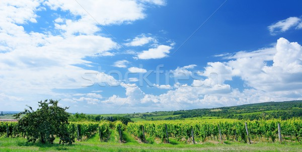 Sobes Moravian vineyard Stock photo © hamik