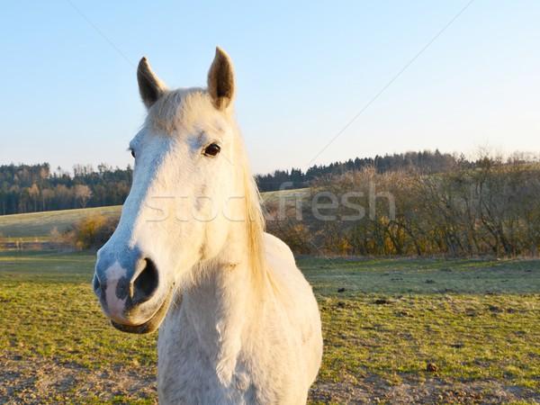 Cavallo bianco grandangolo shot bella tramonto cavallo Foto d'archivio © hamik