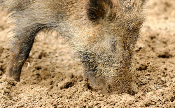 Wild boar Stock photo © hamik