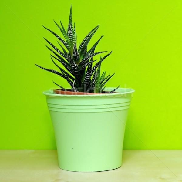 アロエ 緑 プラスチック 植木鉢 壁 背景 ストックフォト © hamik