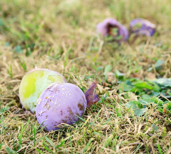 Rotten plum Stock photo © hamik