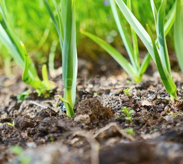 Verde aglio giovani impianto piantine crescita Foto d'archivio © hamik