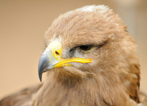 Arany sas fej portré természet madár Stock fotó © hamik