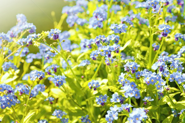 Forget me not plant Stock photo © hamik