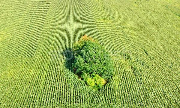 トウモロコシ フィールド 詳細 ビッグ 茂み 風景 ストックフォト © hamik
