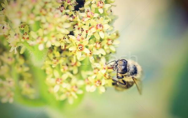 пчелиного меда цветок макроса лет завода Bee Сток-фото © hamik