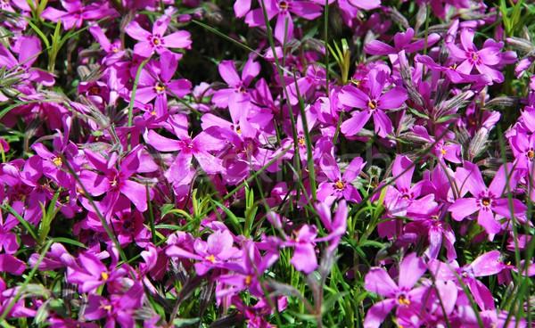 Ibolya tavasz részlet kép virágok kert Stock fotó © hamik