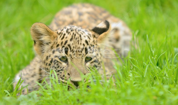 Młodych leopard mały baby trawy Zdjęcia stock © hamik