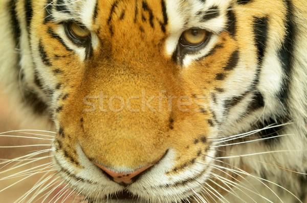 Tigre cabeça retrato olhos laranja Foto stock © hamik