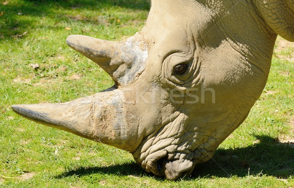 Rhinoceros head Stock photo © hamik