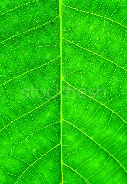 Ceviz yaprak makro atış yeşil doku Stok fotoğraf © hamik