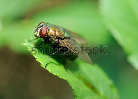 Brutto volare macro shot foglia occhi Foto d'archivio © hamik