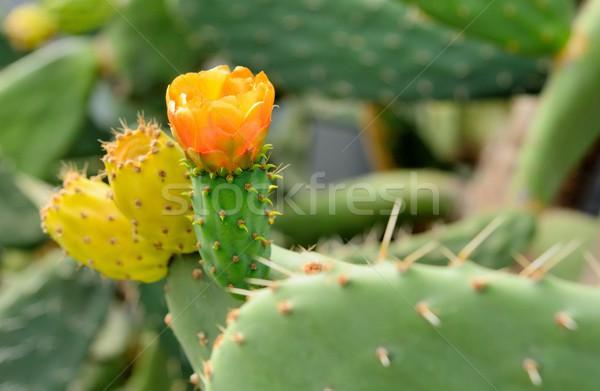 Prickly pear Stock photo © hamik