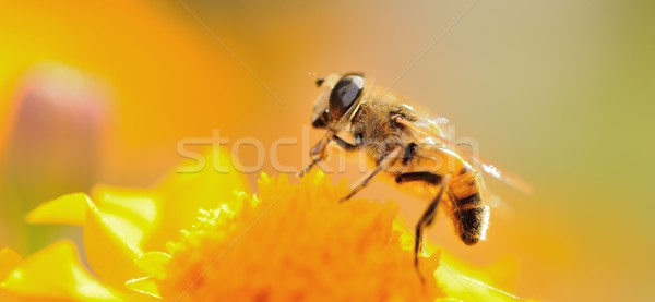 ミツバチ マクロ ショット 花 日没 バックライト ストックフォト © hamik
