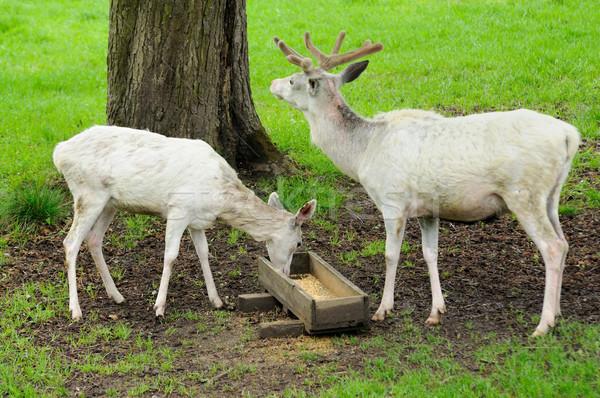 Foto stock: Branco · veado · jardim · zoológico · jovem · animal
