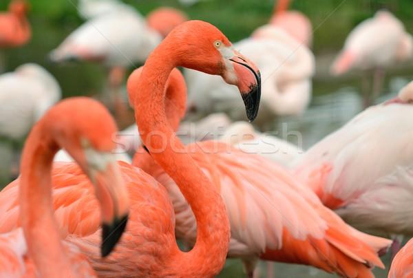 ピンク 鳥 肖像 赤 池 フラミンゴ ストックフォト © hamik