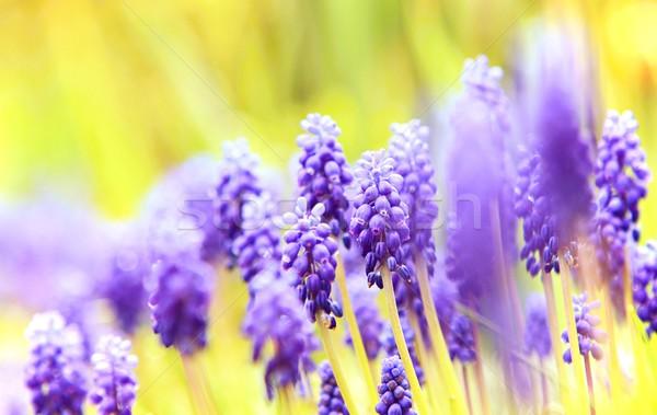 Muscari close-up Stock photo © hamik