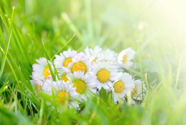Százszorszép fű gyönyörű százszorszépek becsillanás fény Stock fotó © hamik
