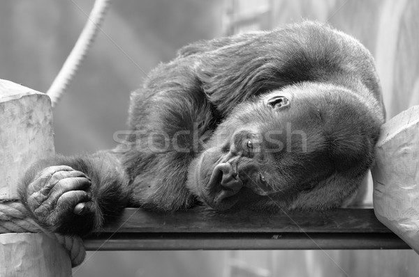 Resting Gorilla Stock photo © hamik
