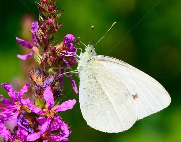 Káposzta fehér pillangó gyönyörű nektár lila virág Stock fotó © hamik