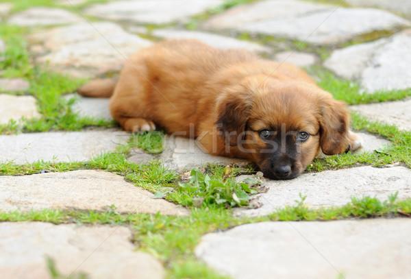子犬 小 ブラウン リラックス 古い ストックフォト © hamik