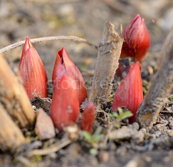 Kırmızı tomurcuk makro atış küçük toprak Stok fotoğraf © hamik